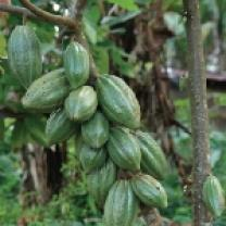 organic cocoa pod, ethical corporation