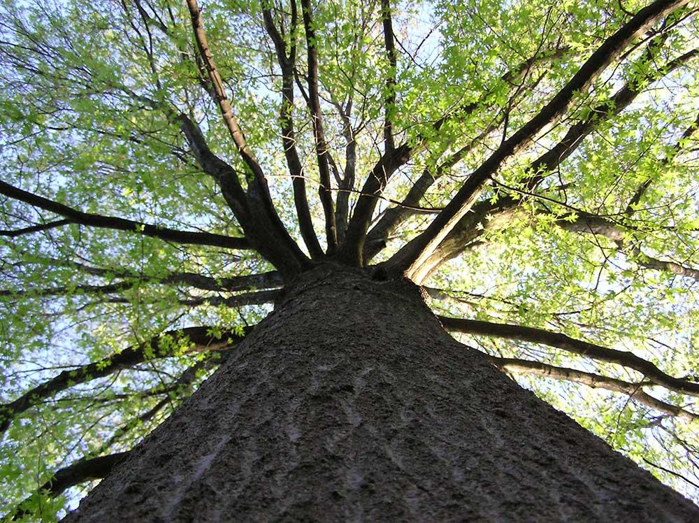 Tree benefiting from biochar